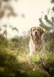 Labrador Outdoors Royalty Free Stock Photo