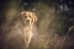 Labrador Outdoors. Golden Retriever on the nature and leisure Stock Image