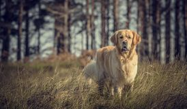 Labrador Outdoors Royalty Free Stock Photography