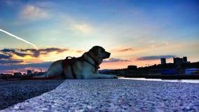 Labrador på Clyde Sunset Arkivfoto