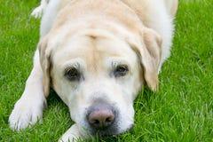Labrador på nytt grönt gräs arkivbilder