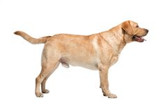 Labrador på vit bakgrund i studio Arkivfoton