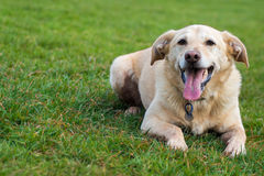 Labrador panting in field after running Royalty Free Stock Photos
