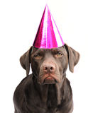 Labrador in party hat Royalty Free Stock Photography