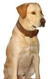 Labrador path inc. Stock Photography