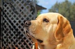 Labrador patrzeje w ogródzie Fotografia Royalty Free