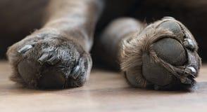 Labrador paws. A close up of two adorable chocolate Labrador paws royalty free stock photography