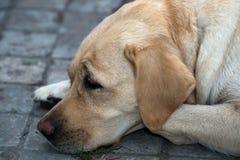 Labrador (perro perdiguero) Foto de archivo libre de regalías
