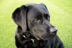 Labrador pet portrait Royalty Free Stock Image