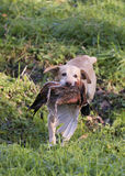 Labrador and pheasant. Gun dog Royalty Free Stock Image