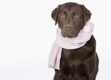 Labrador in Pink Scarf Royalty Free Stock Photography