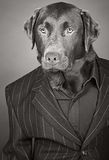 Labrador in Pinstripe Suit. Cool Looking Chocolate Labrador in Pinstripe Suit Royalty Free Stock Photo