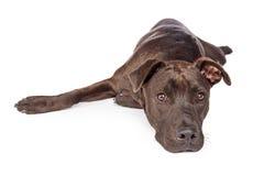 Labrador Pit Bull Crossbreed Dog Laying no branco imagens de stock
