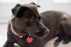 Black, Mixed-Breed, Female Dog. A close-up profile view of a female, black mixed-breed dog wearing a pink collar and red, heart shaped dog tag. According to DNA Royalty Free Stock Photography
