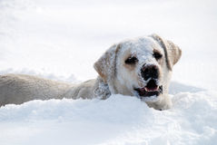 Labrador play in fresh snow. Labrador retriever play in fresh deep snow Royalty Free Stock Photo