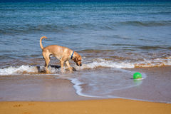 Labrador playing on the beach Stock Image