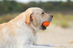 Labrador playing with an orange ball portrait Stock Images