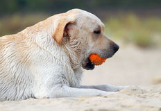 Labrador playing with an orange ball portrait Royalty Free Stock Image