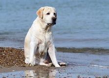Labrador playing with an orange ball Stock Photos