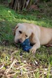 Labrador playing outside Royalty Free Stock Images