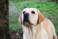 Labrador playing outside Royalty Free Stock Photography