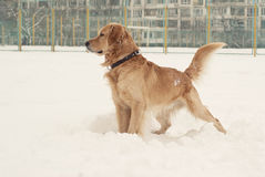 Labrador  playing in snow Stock Photography