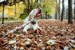 Labrador playing with stick in park Royalty Free Stock Images