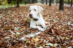 Labrador playing with stick in park Royalty Free Stock Photo