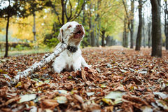 Labrador playing with stick in park Stock Photo