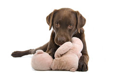 Labrador playing with toy Royalty Free Stock Photography