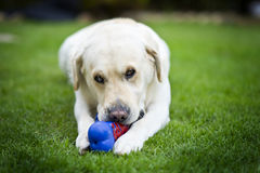 Labrador playing with toy. Labrador dog playing with a rubber toy Royalty Free Stock Photos