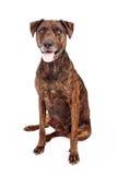 Labrador And Plott Hound Crossbreed stock photography