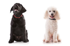 Labrador and Poodle - small cute. Labrador and Poodle - small cute isolated on white Royalty Free Stock Photo