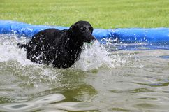 Labrador in the pool with a ball. Funny black labrador is having fun in the pool with a ball stock photos