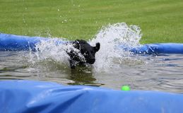 Labrador in the pool with a ball. Funny black labrador is having fun in the pool with a ball stock photo