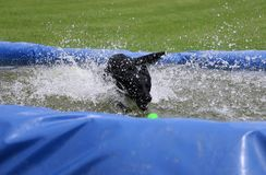 Labrador in the pool with a ball. Funny black labrador is having fun in the pool with a ball royalty free stock photos