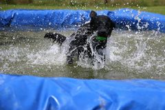 Labrador in the pool with a ball. Funny black labrador is having fun in the pool with a ball royalty free stock images