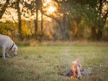 Labrador por el fuego Fotos de archivo libres de regalías
