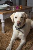 Labrador-Porträt Lizenzfreies Stockbild