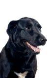 Labrador portrait Stock Photos