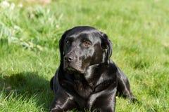 Labrador Portrait Stock Image