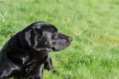 Labrador Portrait Royalty Free Stock Photo