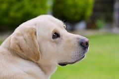 Labrador portrait. Close up of labrador retriever in the garden Royalty Free Stock Photography