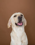 Labrador pozuje w studiu Obraz Stock