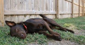 Labrador preguiçoso Foto de Stock