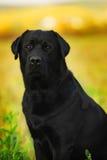 Labrador preto Imagem de Stock