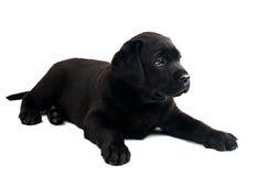 Labrador preto Fotos de Stock