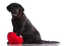 Labrador preto bonito Imagens de Stock