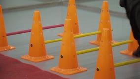 Labrador preto corre através das barreiras no gym vídeos de arquivo