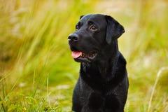 Labrador preto em um fundo da grama Imagens de Stock